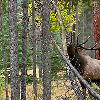 trophy bull wapite elk rubbing anterls on aspen tree in lodge pole pine forest