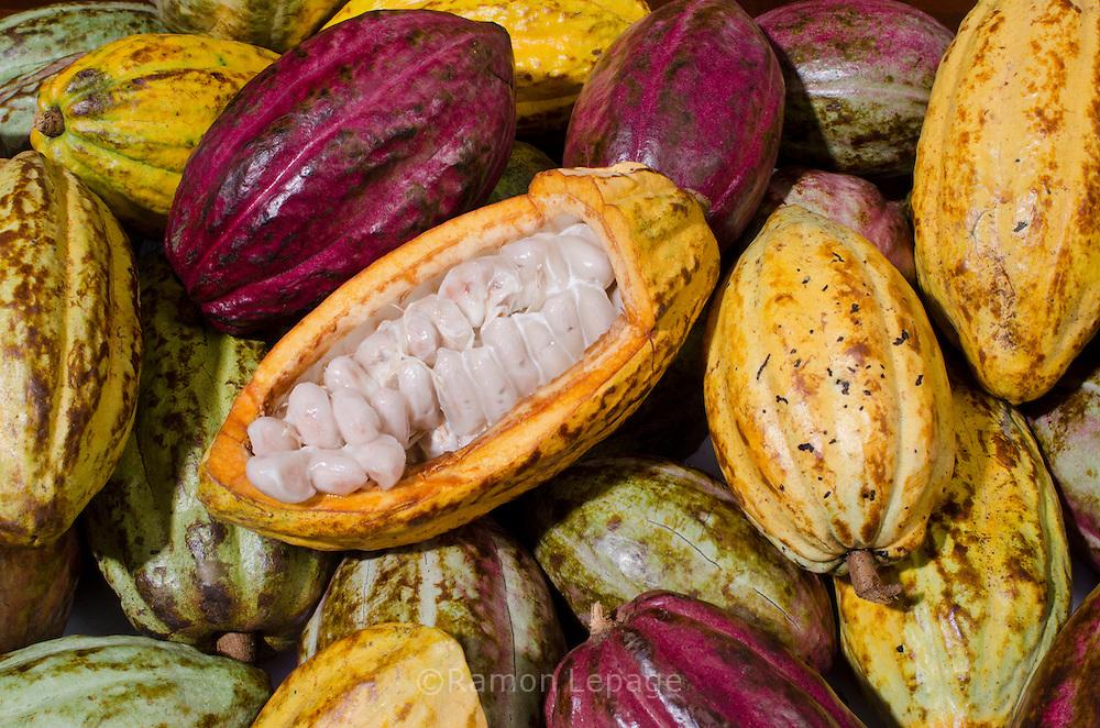 Cultivo de Cacao en Birongo, Estado Miranda, Venezuela.