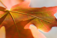 NEWS&GUIDE PHOTO / PRICE CHAMBERS.As fall brings cooler temperatures and local flora prepares for winter, the true colors of a maple leaf shine through, excentuating the veins that help feed the tree..