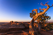 The moon sets at sunrise behind a gnarled pine tree in the desert highlands of Canyonlands National Park, Utah.<br />