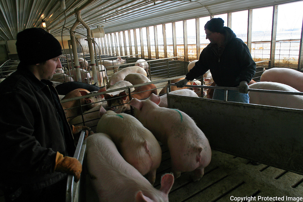 Farmer Terry Murray and his son David spent part of a cold January morning inside their hog confinement on his farm near Storm Lake, Iowa.  Murray raises about 2400 hogs, and also plants about 900 acres per year in corn and soybeans.13USA, Des Moines, Ia.  Photo by David Peterson
