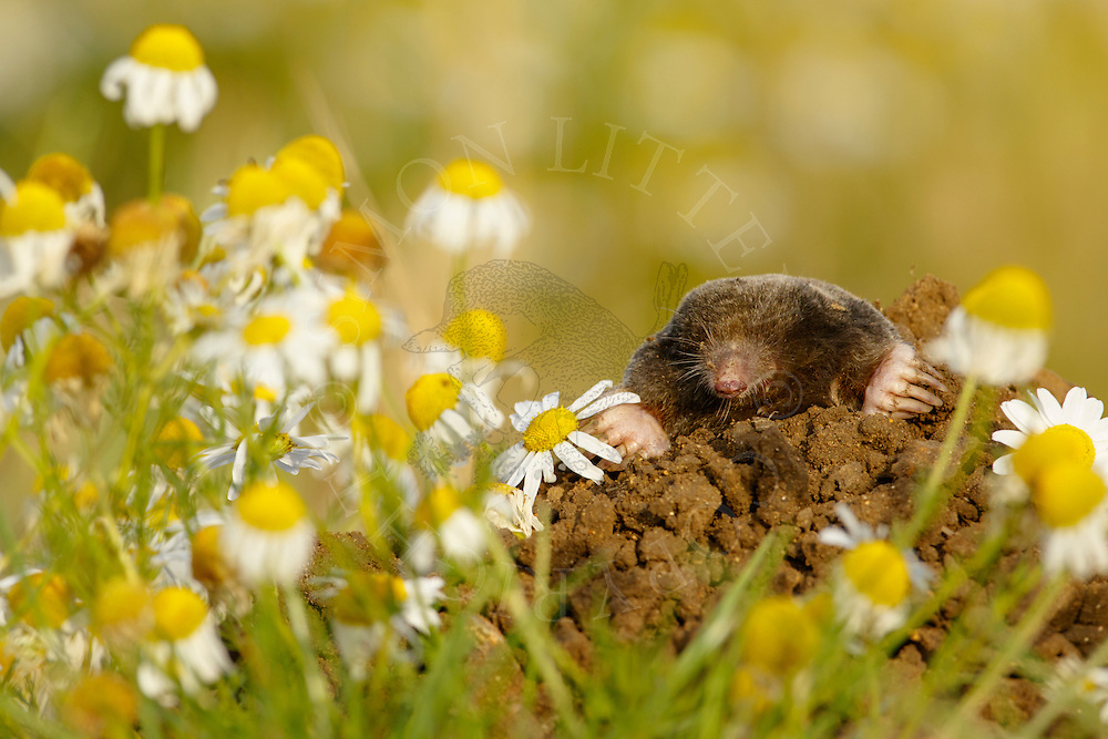 European Mole (Talpa europaea) adult, surfacing from molehill, Norfolk, UK (photographed under controlled conditions)