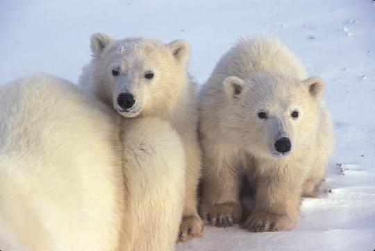 Polar Bear, (Ursus maritimus) Two cubs lying near mothers side. Churchill, Manitoba. Canada.