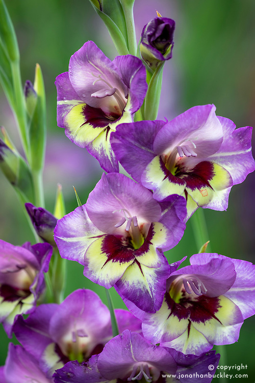 Gladiolus 'Flevo Cool'