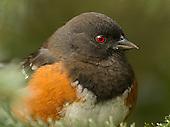 Songbirds, Passerines