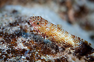 Synodus rubromarmoratus (Redmarbled lizardfish)