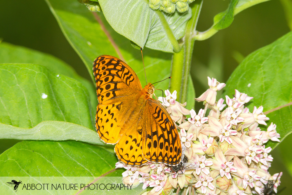 Great Spangled Fritillary - Hodges#4450 (Speyeria cybele)<br /> WEST VIRGINIA: Greenbrier Co.<br /> Summit Lake @ Cranberry Wildlife Management Area<br /> 25.June.2015<br /> J.C. Abbott #2753 &amp; K.K. Abbott