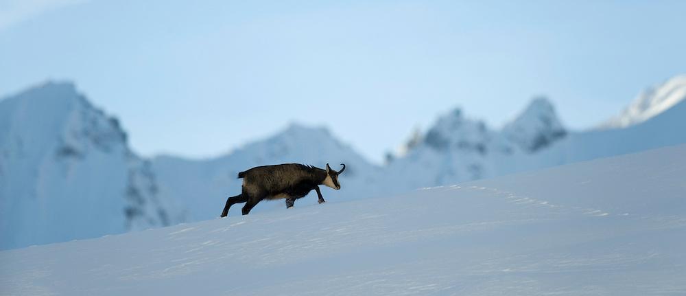10.11.2008.Chamois (Rupicapra rupicapra) in alpine landscape..Gran Paradiso National Park, Italy