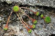 Mountain House-leek (Sempervivum montanum). High Tauern National Park, Austria. | Berg-Hauswurz (Sempervivum montanum). Nationalpark Hohe Tauern, Österreich.