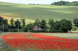 © Licensed to London News Pictures. 19/06/2012 .The sunny weather is out in Eynford, Kent.(today 19.06.2012).No rain, No floods and no hose pipe ban just a summer field of poppies blooming in Eynsford, Kent..Photo credit : Grant Falvey/LNP