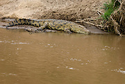 Nile Crocodile (Crocodylus niloticus) at the banks of Mara River, Kenya.