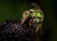 Metallic Green Bee (Augochloropsis metallica) collecting nectar and pollen from a Black-eyed Susan (Rudbecki fulgia), South Carolina, USA