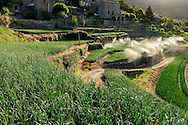 France, Languedoc Roussillon, Cévennes, Gard, culture d'oignons doux des Cévennes, vallée de Taleyrac, arrosage