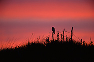 Swainsons Hawk- Nebraska Sandhills.  The June sky blushes at dawn as a Swainsons hawk sits in sillhouette atop a fence post, scanning the prairie for its first meal of the day. Swainsons hawks are raptors of the prairie and can be found in most grasslands of the American West. Often, their nests can be found in lone cottonwood trees surrounded by a sea of grass. Swainson's hawks are also long-distance migrators, migrating in huge numbers as far south as Central and South America in the winter. There, decreasing habitat, dwindling prey species and the affects of agricultural chemicals are taking their toll on this beautiful species population.