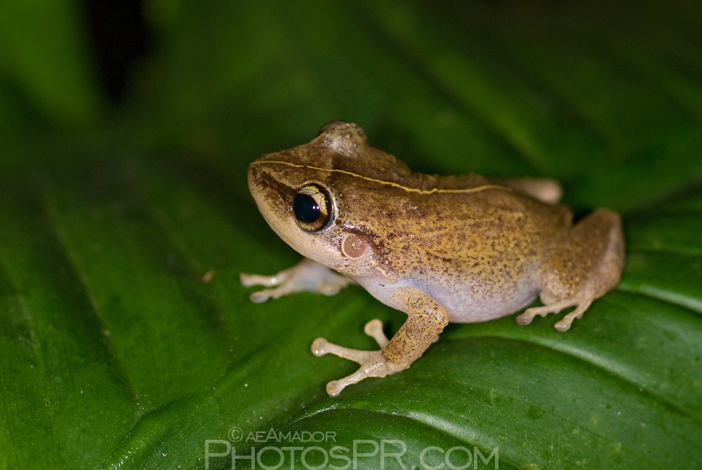 Puerto Rico's endemic frog well known for its nightly serenade