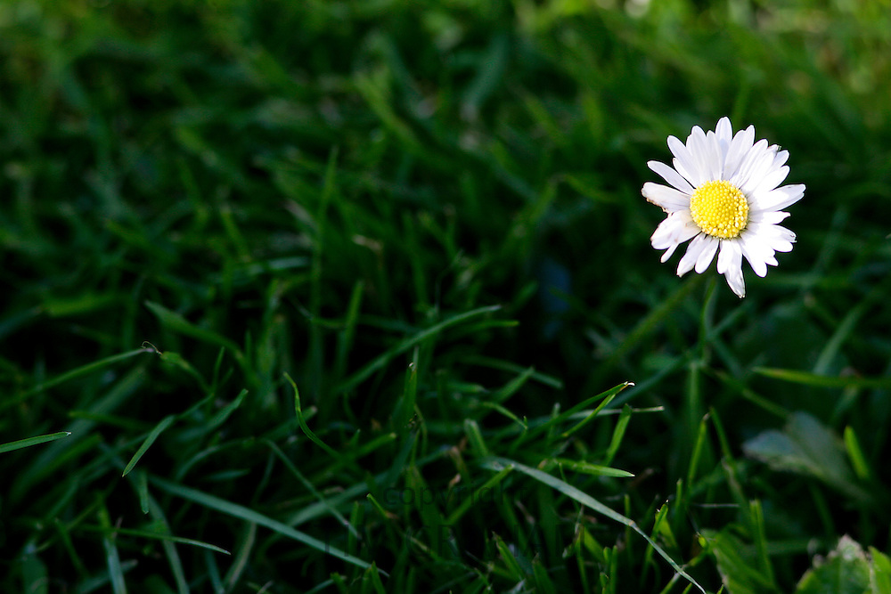 Daisy flower amongst grass, England