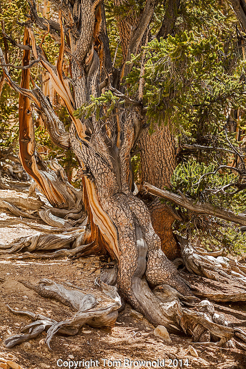 Bristle cone pine tree in the White Mountains of California