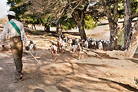 Goat herder driving goats to a watering hole, Shwegugyi Temple, Myanmar. Stock Images