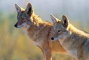 Coyotes [Canis latrans] at Arizona-Sonora Desert Museum. Tucson, Arizona.