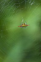 Kite spider and web. Vernon Crookes Nature Reserve. Southern KwaZulu Natal. South Africa