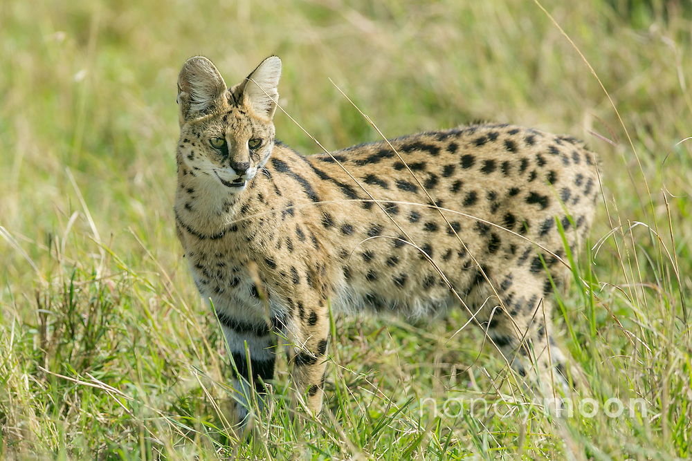 What a treat to see the serval cat, this medium-sized wild in Kenya.<br />