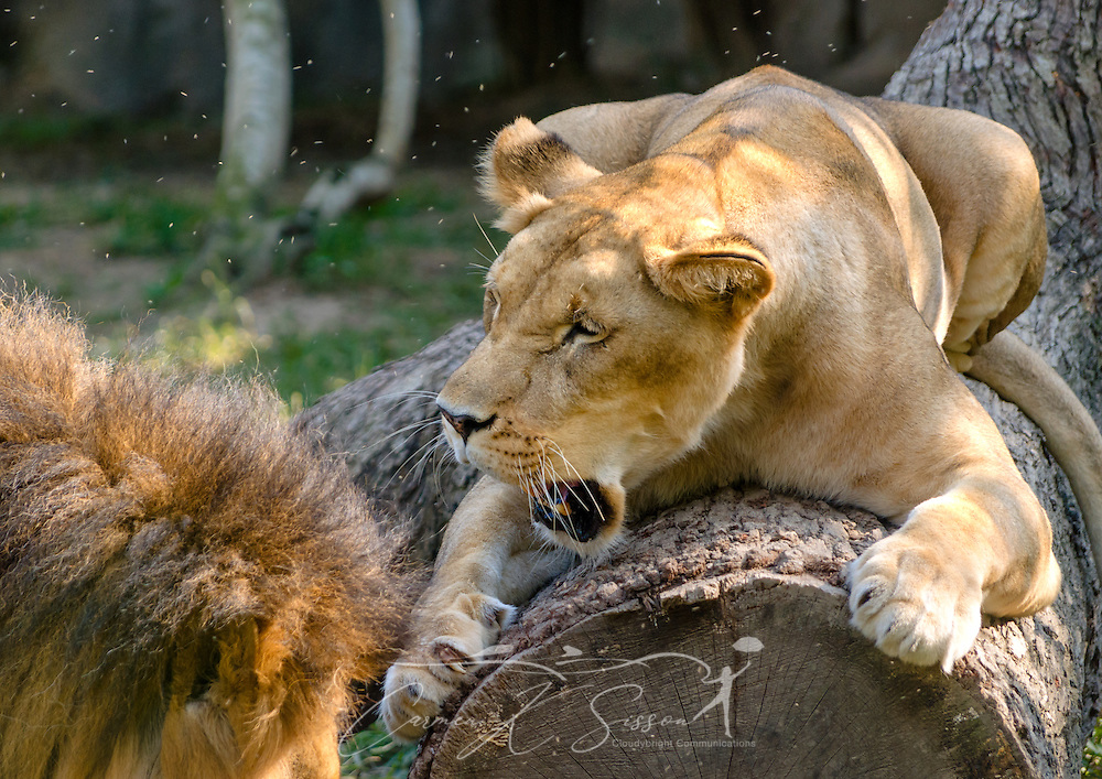 An African lioness (Panthera Leo) scratches a log and snarls as her mate approaches at the Memphis Zoo, September 8, 2015, in Memphis, Tennessee. The zoo features more than 3,500 animals representing more than 500 species; it is one of only four zoos in the nation to feature a panda exhibit. (Photo by Carmen K. Sisson/Cloudybright)