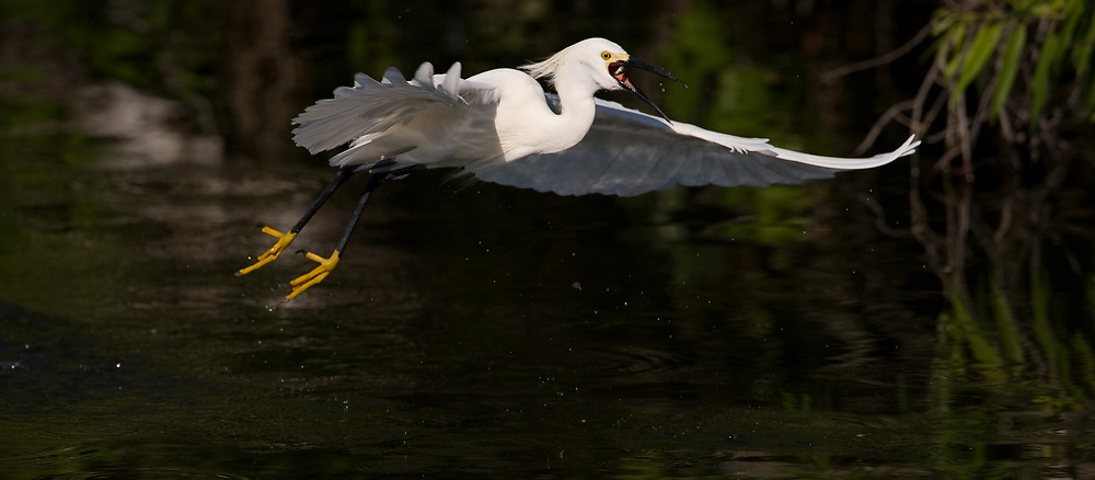 A snowy egret (Egretta thula) flys away with a fish in its mouth after diving for the fish in the Gatorland alligator breeding marsh and bird sanctuary near Orlando, Florida. The bird sanctuary is the largest and most easily accessible wild wading bird rookery in east central Florida. Snowy egrets were hunted almost to extinction for its plumage, used by the fashion industry, in the 1800's. The Aududon Society was formed during this period to push for protection for the birds from the fashion industry.