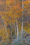 The fall colors of Aspen leaves bloom like flowers, North Lake, Inyo National Forest