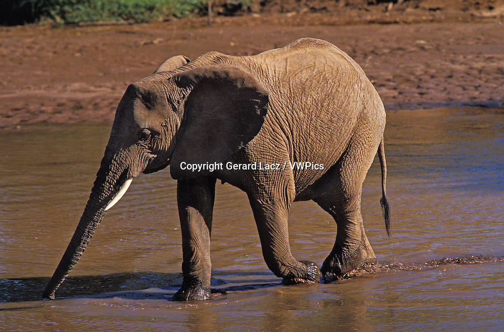 AFRICAN ELEPHANT loxodonta africana, FEMALE CROSSING RIVER, SAMBURU PARK IN KENYA