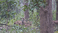 Spotted Deer (Axis axis),  also know as Chital, in sal forest in Bardia National Park, Nepal