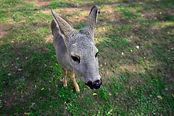 ROMANIA ONESTI 26OCT12 - A young deer at the Onesti zoo which has been shut down due to non-adherence with EU regulations on the welfare of animals...jre/Photo by Jiri Rezac / WSPA..© Jiri Rezac 2012