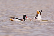 Common shelduck (Tadorna tadorna) swimming. Photographed in Israel in January