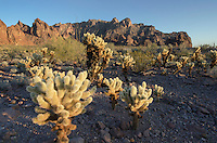 Teddy Bear Cholla (Opuntia bigelovii) in the Sonoran Desert of Kofa National Wildlife Refuge Arizona