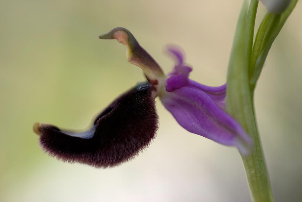 Apulia; Bertoloni's Bee Orchid; Gargano National Park; Gargano Peninsula; Italy; Monte Sacro; Ophrys bertolonii