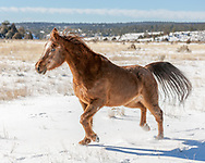 Arabian horse with winter coat running in fresh snow, [[Prints to 8x10, 16x20, 24x30, or 40x50 in. with no cropping]