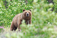 Grizzly bear, Yukon