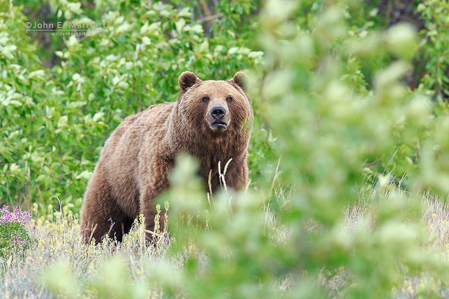 Grizzly bear, Yukon