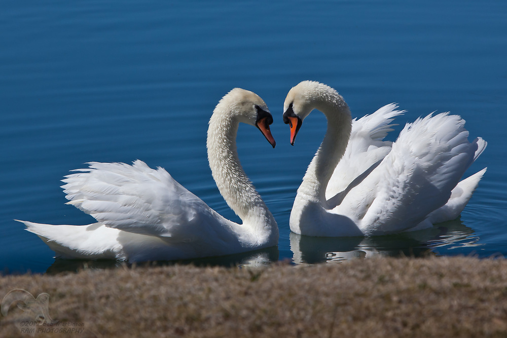 Two Swans make a heart with their necks as they look at each other in a pond near Camp Verde, Arizona.