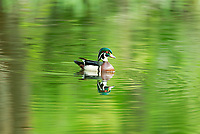 A male Wood Duck rests on a farm pond in the shade from tall cottonwood trees.