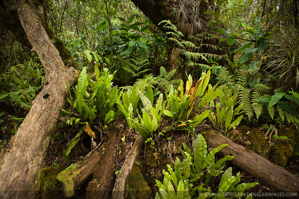 Ferns make their home in fallen trees along the Pihea Trail near the Alakai Swamp Trail intersection in the Alakai Wilderness Preserve on the island of Kauai in Hawaii.