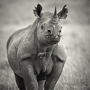 Black rhino cow