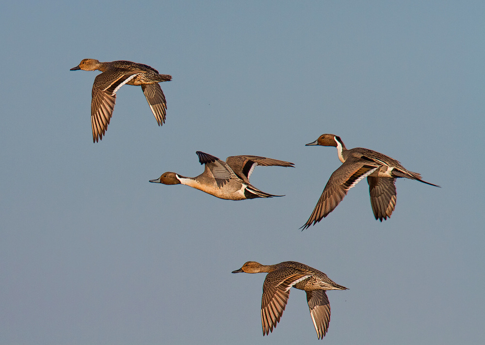Northern Pintails (Anas acuta) in flight