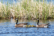 Canada Geese (Branta canadensis) adults and chicks at Potter Marsh in Southcentral Alaska. (Spring. Afternoon.