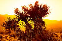 A yucca is silhouetted against a blinding hot sunset in the Mojave Desert near Twentynine Palms, in Southern California.