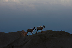 Big horned sheep stands on top of a rock formation, Badlands National Park, South Dakota, United States of America
