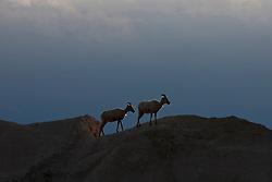 Big horned sheep stands on top of a rock formation, Badlands National Park, South Dakota, United States of America