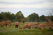 Elephants in Moremi National park. Botswana, Southern Africa, Africa.© Z&D Lightfoot.www.Lightfootphoto.com