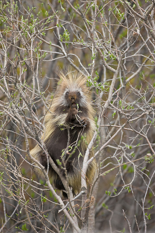 A porcupine feeds on willow buds along the Denali Park Road in early summer