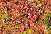 Rundsoldogg i torvmosemyr (sphagnum). Oblong-leaved sundew in peat moss. Drosera intermedia, commonly known as the oblong-leaved sundew, spoonleaf sundew, or spatulate leaved sundew, is an insectivorous plant species belonging to the sundew genus. Soldogg, planteslekt i soldoggfamilien. Soldoggslekta Drosera er en av de største slektene av kjøttetende planter i verden, kun tre arter i Norge. Den vokser på næringsfattige myrer, og fanger insekter med de spesielle bladene. Dette gjør den for å få nitrogen og evt. andre grunnstoffer, som den absorberer fra bl.a. proteinene i byttedyrene. Stengelen er bladløs og bærer noen få hvite blomster. I Norge tre arter, derav to som vokser på torvmosemyrer: rundsoldogg og smalsoldogg, begge vanlige over hele landet.