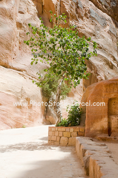 Middle East, Jordan, Petra, UNESCO World Heritage Site. A tree growing out of the rock in Al-Siq The main entrance into the city. A 1207 metres long 3 to 16 metres wide and 100 Meters high natural gorge. Remains of the ancient water pipes can be seen on the right. April 2008